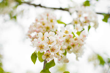 A blossoming pear tree in springtime. Delicate flowering and the heady scent of spring