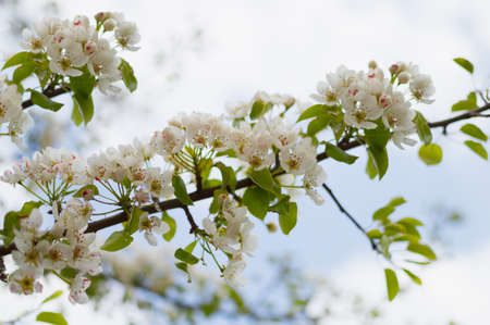 A blossoming pear tree in springtime. Heady scent of spring Archivio Fotografico