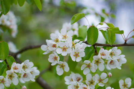 A branch of a blossoming pear tree with white little flowers. Delicate flowering and the heady scent of spring Archivio Fotografico