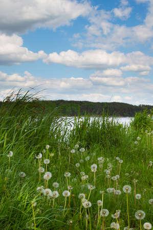 White dandelions in green fresh grass on the beach of lake. Spring sunny landscape