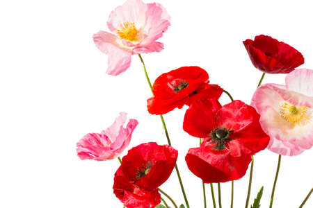 Summer field flowers. Red and pink poppies isolated on white background. Foto de archivo