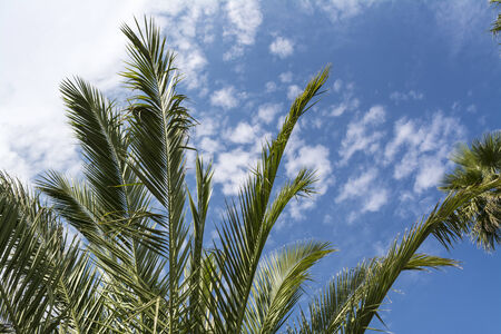 Tropical tree in mexico agains blue and cloudy sky photo