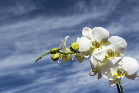 White orchid with yellow details and blue cloudy sky photo