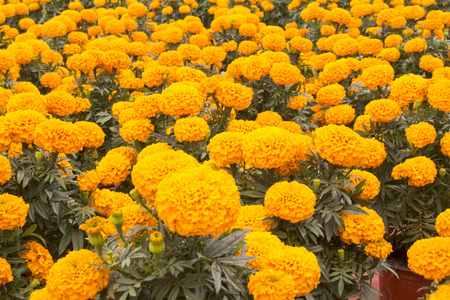 chose: Bright yellow, the stem of marigolds can grow up to one meter high, while its buttons can reach five feet in diameter. Therefore the Aztecs, during the pre-Hispanic era, chose to clog with hundreds of flowersaltars, offerings and burials dedicated to thei Stock Photo