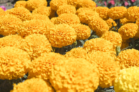 Bright yellow, the stem of marigolds can grow up to one meter high, while its buttons can reach five feet in diameter. Therefore the Aztecs, during the pre-Hispanic era, chose to clog with hundreds of flowersaltars, offerings and burials dedicated to thei Stok Fotoğraf