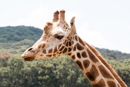gaze: Giraffe portait outdoors. You can see gestures and gaze. Stock Photo