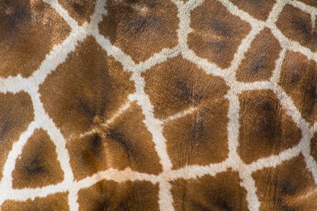 giraffe skin: Giraffe Skin Texture