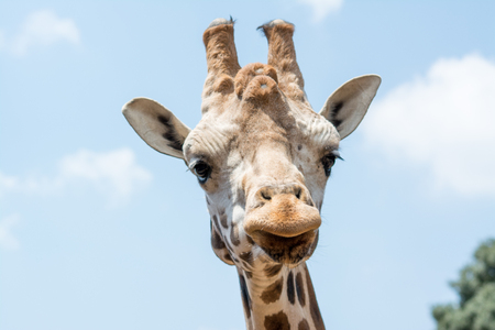 portait: Giraffe portait outdoors. You can see gestures and gaze. Stock Photo