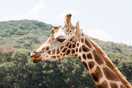Giraffe portait outdoors. You can see gestures and gaze. 写真素材