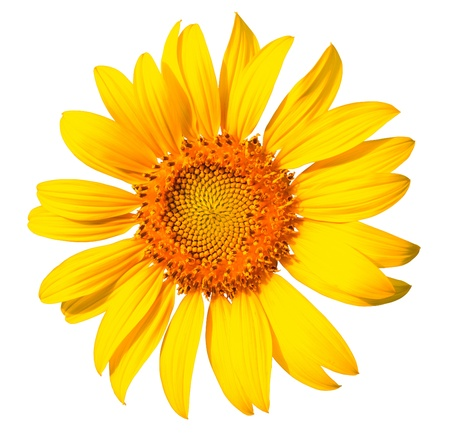 Isolated yellow sunflower on the white background  photo