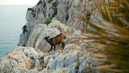 Formentor Mountain goat at Cap de Formentor on the island of Mallorca. High quality photo