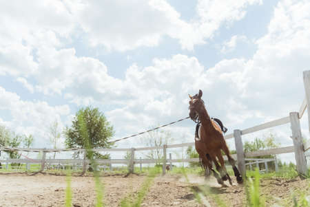 A Dark brown horse being lunge trained during the daytime. Running along the wooden fence in the sandy arena. Horse routine exercises. Lunging exercise. Low angle shot. Cloudy sky in the background.