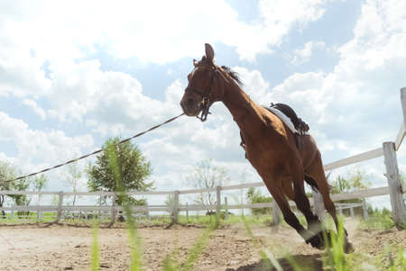 A Dark brown horse being lunge trained during the daytime. Running along the wooden fence in the sandy arena. Horse routine exercises. Lunging exercise. Low angle shot. Cloudy sky in the background. Standard-Bild