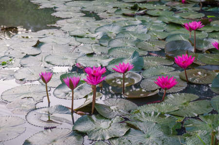 water lilly: pink waterlily in pond