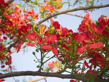 Caesalpinia pulcherrima flowers on tree.