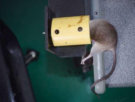 Rat dead in rattrap on desk. Reklamní fotografie