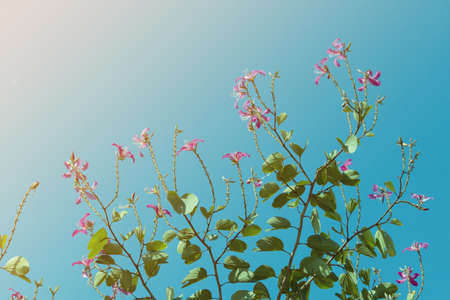 Pink flowers of the tree and sky background. Reklamní fotografie