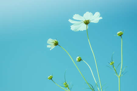 Cosmos flower with clear sky background. Reklamní fotografie
