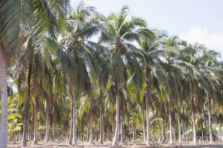 Coconut tree in the countryside farm on day time. Reklamní fotografie