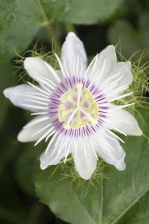 Flower of stinking passion. Reklamní fotografie