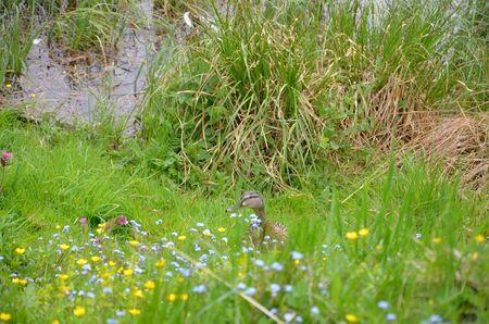 webfoot: The duck male