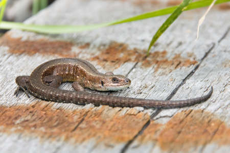 Brown lizard rest on old boards Stock Photo