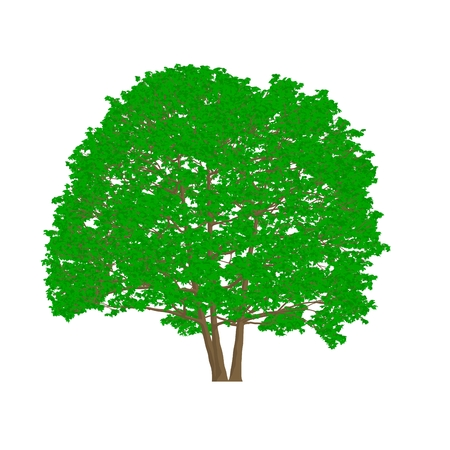 alder tree: alder tree cartoon shaded isolated in white background Stock Photo