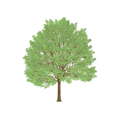 hornbeam: hornbeam tree cartoon shaded isolated in white background Stock Photo