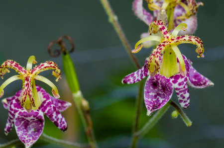 The toad lily is a shade loving plant colourful patterns on their delicate flowers.