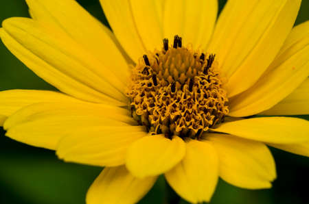 False sunflower