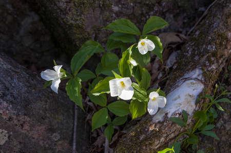 erectum: White Trillium