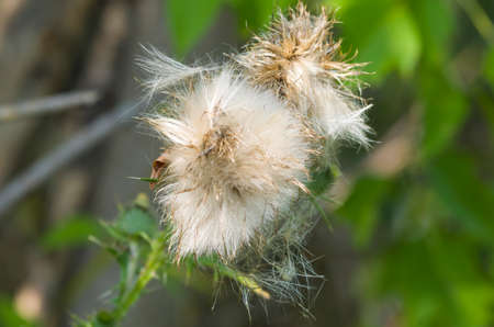 Canada Thistle in bloom Stock Photo