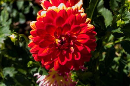 showy: Red dahlia