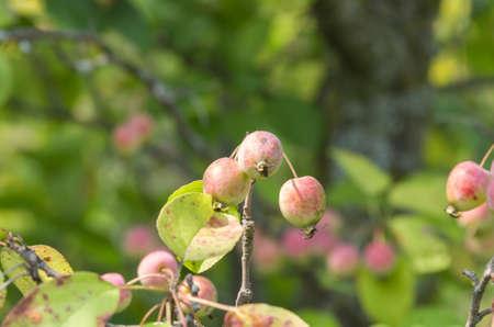 crab apple tree: Crab apples