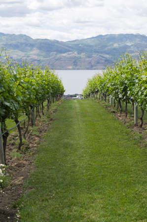 Vineyard in Kelowna BC with rows of grape vines headed down the slope toward Okanagan Lake and Kelowna BC in the background.