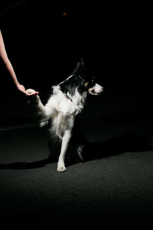 Shy border collie dog looking away from its owners hand