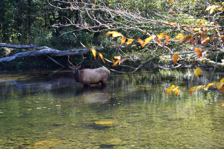 Elk in the river Stok Fotoğraf