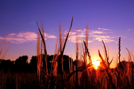 sunset through grasses