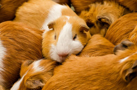 marketeer: Guinea pigs on a market in South America