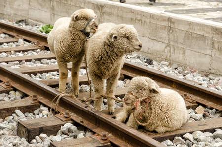 marketeer: Sheeps on a market