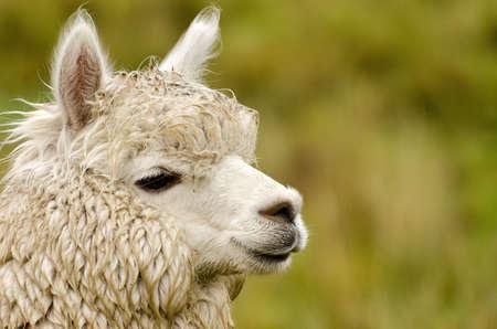 inquisitively: Alpaka
