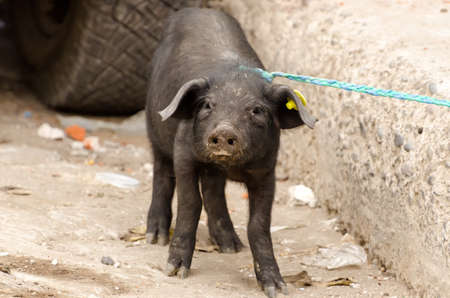 marketeer: Pig on a market