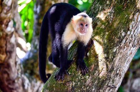 Cebus monkey