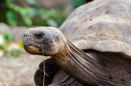 pecker: Giant tortoise