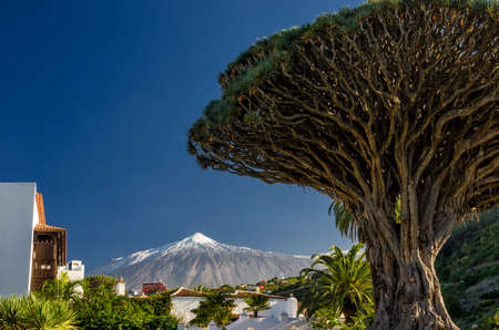 Dragon Tree and Mount Teide on Tenerife Stockfoto