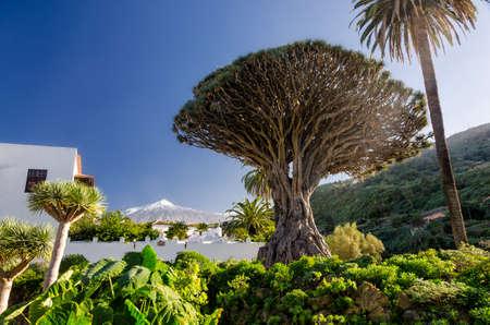 Dragon Tree and Mount Teide on Tenerife Stock Photo