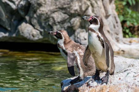 Galapagos penguins Reklamní fotografie