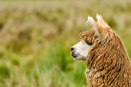 inquisitively: Alpaca