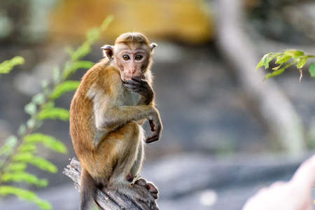 bonnet monkey
