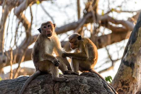primacy: bonnet monkeys